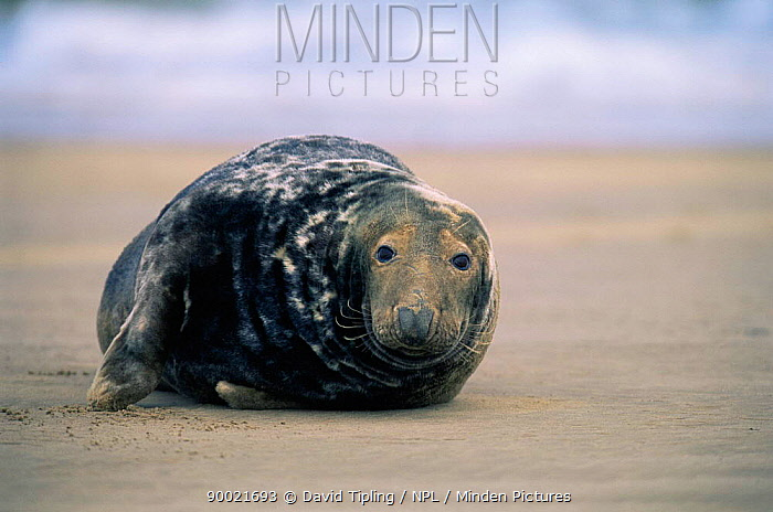 Grey Seal (Halichoerus grypus) on beach Lincolnshire United Kingdom  -  David Tipling/ npl