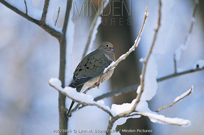 Mourning Dove (Zenaida macroura) perched in snow  -  Lynn M. Stone/ npl