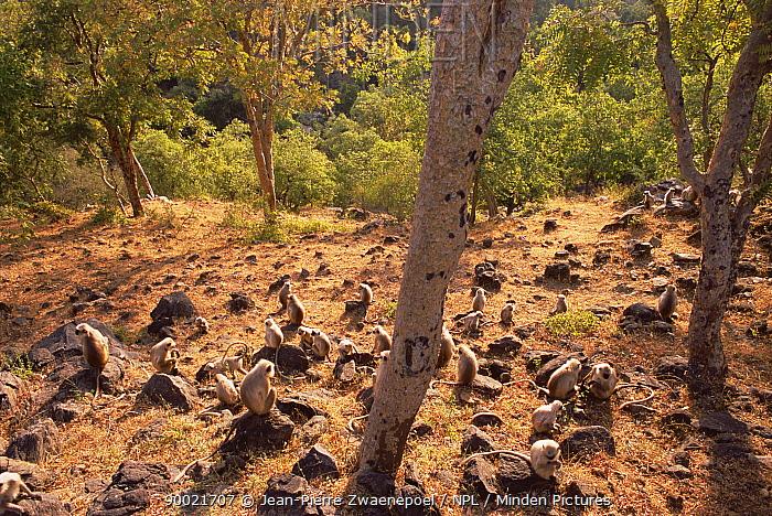 Hanuman langur (Presbytis entellus) group sunning and socialising, Kumbhalgarh WS, Rajasthan, India  -  Jean-pierre Zwaenepoel/ npl