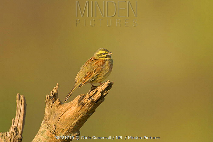 Cirl Bunting (Emberiza cirlus) spring male perched in branch, South Devon, United Kingdom  -  Chris Gomersall/ npl