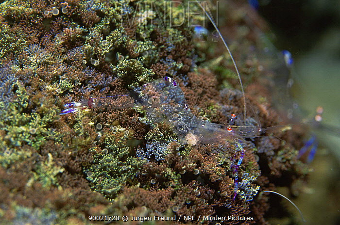 Cleaner shrimp (Periclimenes sp) completely transparent on coral, Philippines, Indo pacific  -  Jurgen Freund/ npl