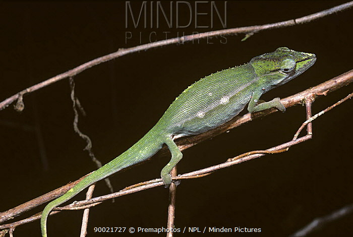 Short-nosed Chameleon (Calumma gastrotaenia) profile on branch, Madagascar  -  Premaphotos/ npl