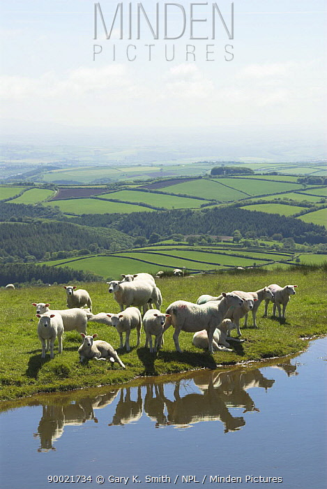 Domestic Sheep (Ovis aries)Sheep on Exmoor resting next to drinking pool, Somerset, United Kingdom  -  Gary K. Smith/ npl