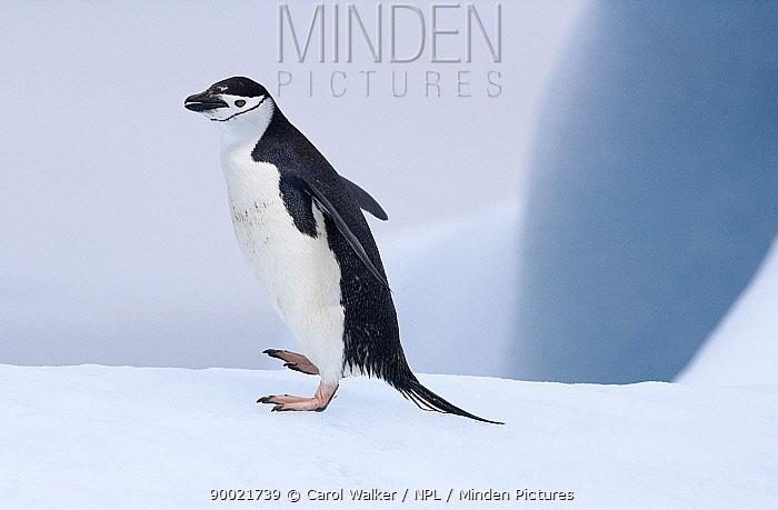 Chinstrap Penguin (Pygoscelis antarctica), adult on ice, South Orkney Islands  -  Carol Walker/ npl