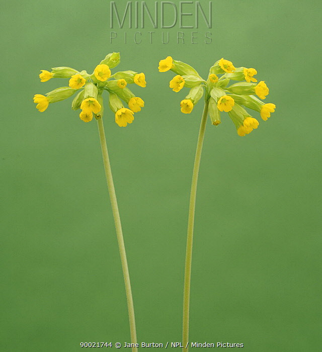 Cowslip Primrose (Primula veris) flowers, United Kingdom  -  Jane Burton/ npl