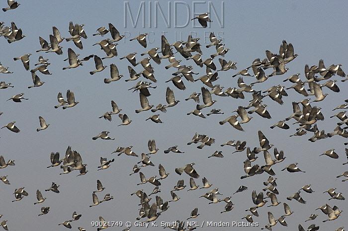 Common Wood-pigeon (Columba palumbus) flock in flight, Norfolk, England, United Kingdom  -  Gary K. Smith/ npl