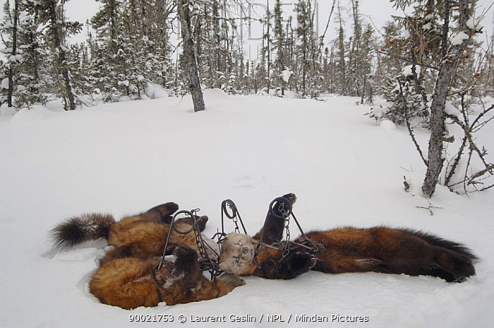 Pine Marten (Martes martes) in the snow, killed by a fur trapper in the Canadian taiga  -  Laurent Geslin/ npl