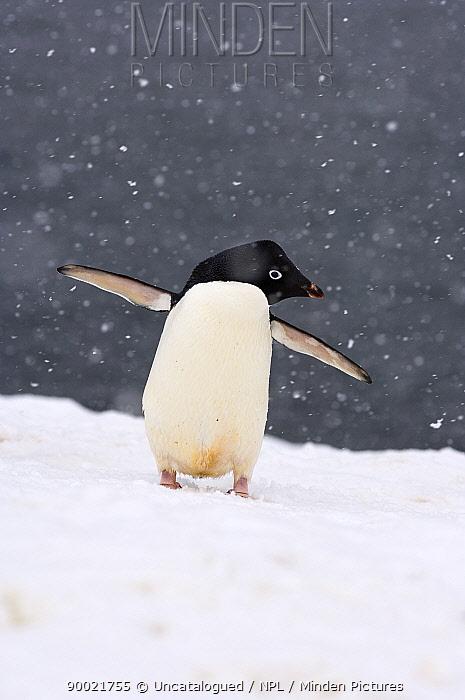 Adelie Penguin (Pygoscelis adeliae) in falling snow on the western Antarctic Peninsula, Southern Ocean  -  Steven Kazlowski/ npl
