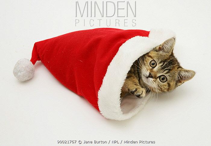 Domestic Cat (Felis catus)Tabby-tortoiseshell kitten in a Father Christmas hat  -  Jane Burton/ npl