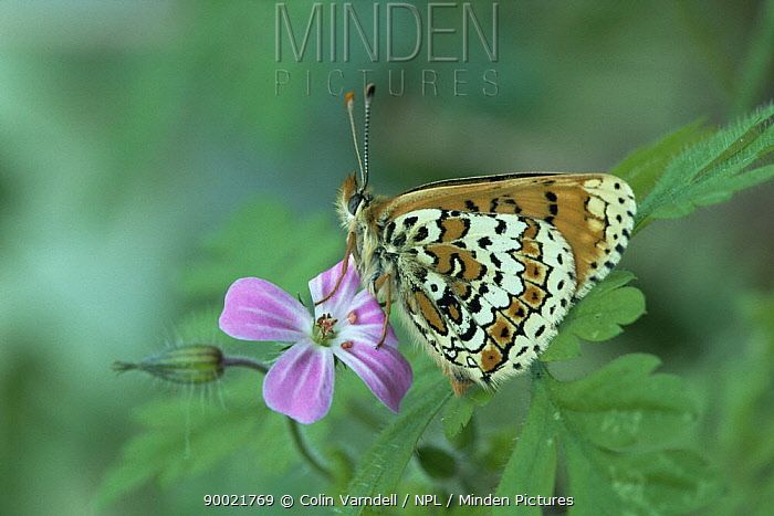 Glanville Fritillary (Melitaea cinxia) on flower, United Kingdom  -  Colin Varndell/ npl