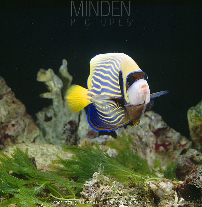 Emperor Angelfish (Pomacanthus imperator) captive, from Indo-Pacific  -  Jane Burton/ npl