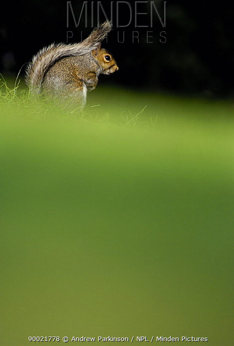 Eastern Gray Squirrel (Sciurus carolinensis) Derbyshire, United Kingdom  -  Andrew Parkinson/ npl