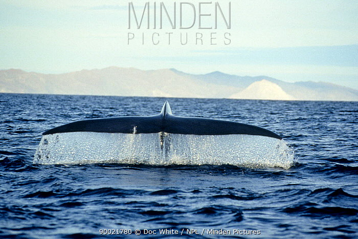 Blue Whale (Balaenoptera musculus) tail Mexico, Pacific  -  Doc White/ npl
