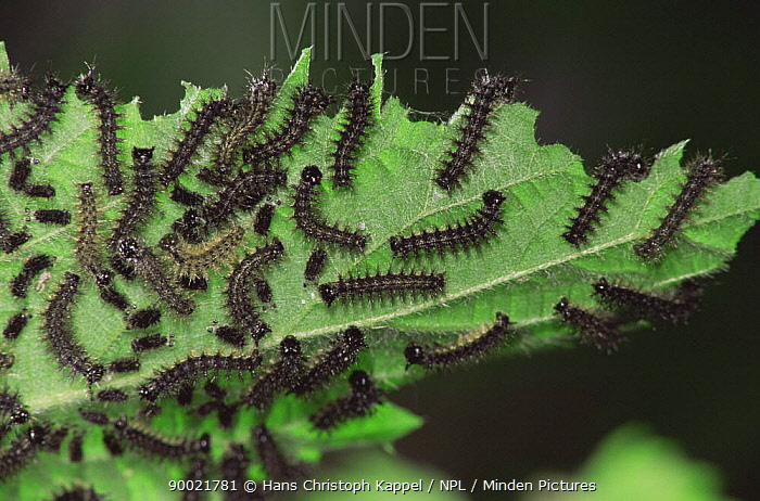 Map Butterfly (Araschnia levana) caterpillars feeding on nettle Sequence, life cycle  -  Hans Christoph Kappel/ npl