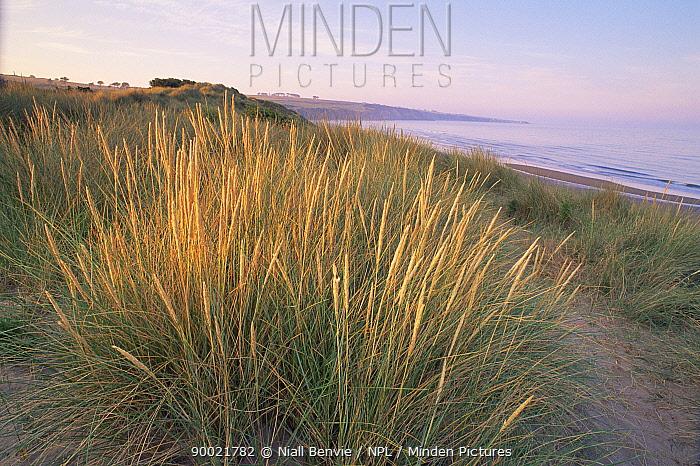 Lyme grass (Elymus farctus) on sand dunes backing Lunan bay, Angus, Scotland  -  Niall Benvie/ npl