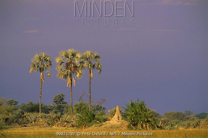 Okavango delta with Termite mound and Fan palm trees (Hyphaene petersiana) Botswana  -  Pete Oxford/ npl