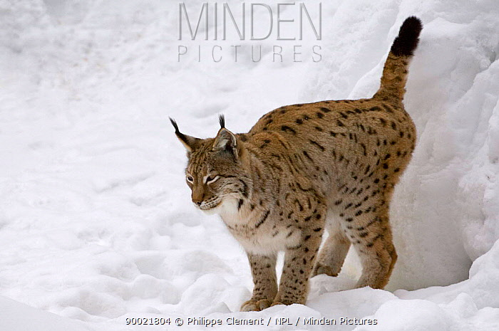 Eurasian Lynx (Lynx lynx) female marking territory with urine, captive, Bavarian Forest, Germany  -  Philippe Clement/ npl