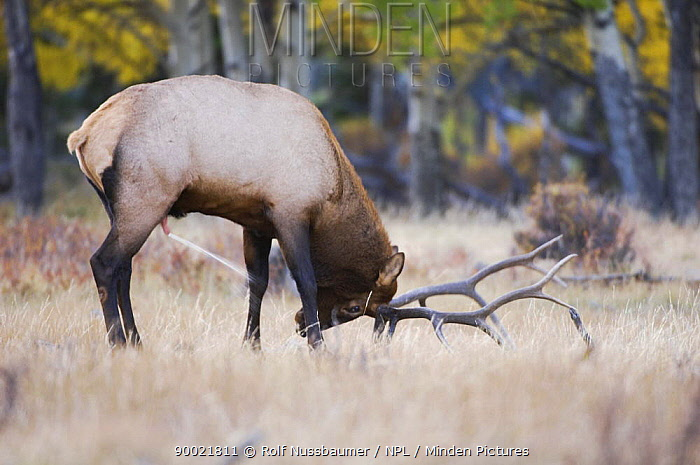Elk, Wapiti (Cervus canadensis) bull spray marking his territory with urine, Rocky Mountain National Park, Colorado, USA, September 2006  -  Rolf Nussbaumer/ npl