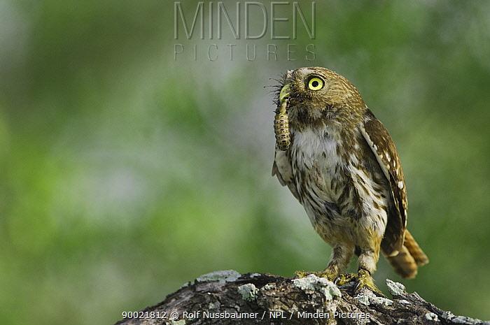 Ferruginous Pygmy Owl (Glaucidium brasilianum)adult with larval insect prey, Rio Grande Valley, Texas  -  Rolf Nussbaumer/ npl