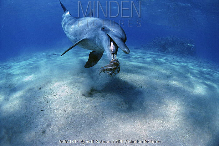 Bottlenose Dolphin (Tursiops truncatus) playing with Reef Octopus Egypt, Red Sea  -  Jeff Rotman/ npl