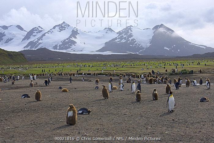 King Penguin (Aptenodytes patagonicus) adults and chicks at Salisbury Plain, South Georgia, Antarctica  -  Chris Gomersall/ npl