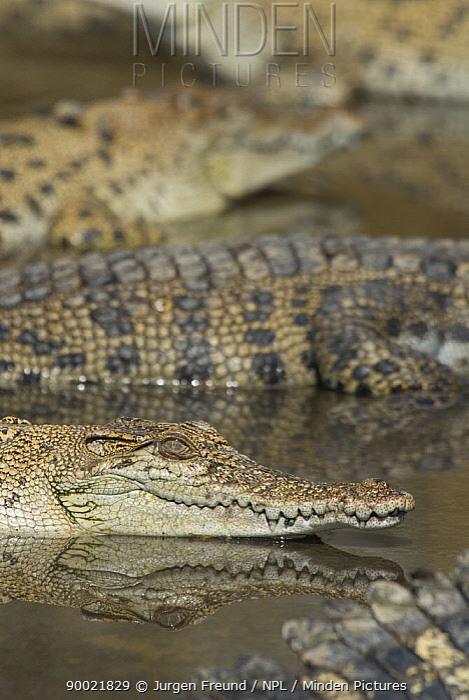 Saltwater Crocodile (Crocodylus porosus) in Hartley's Creek crocodile farm, Queensland, Australia  -  Jurgen Freund/ npl