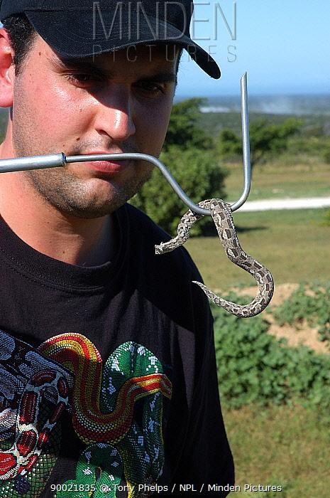 Researcher handling Albany adder (Bitis albanica) Grassy Ridge, nt Port Elizabeth, South Africa  -  Tony Phelps/ npl