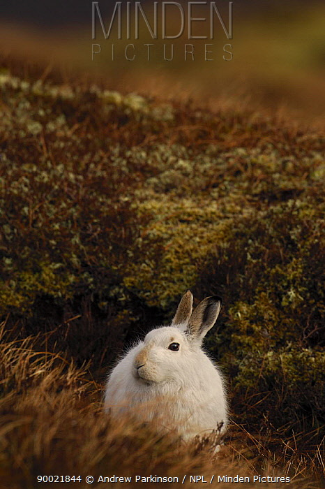 Mountain Hare (Lepus timidus) adult on moorland, conspicuous in white winter coat, Monadhliath Mountains, Scotland United Kingdom  -  Andrew Parkinson/ npl