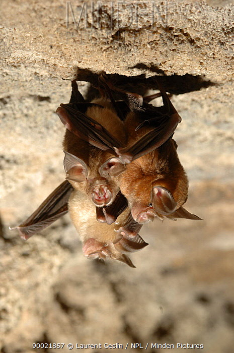 Great eastern horseshoe bats (Rhinolophus luctus) hanging from the roof of a cave Bandhavgargh National Park, Madhya Pradesh, India  -  Laurent Geslin/ npl