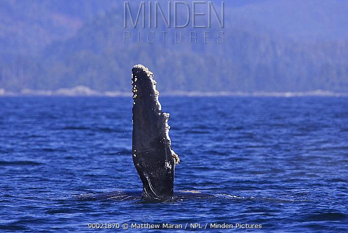 Humpback Whale (Megaptera novaeangliae) juvenile pectoral fin Barkley Sound, Vancouver Island, BC, Canada  -  Matthew Maran/ npl