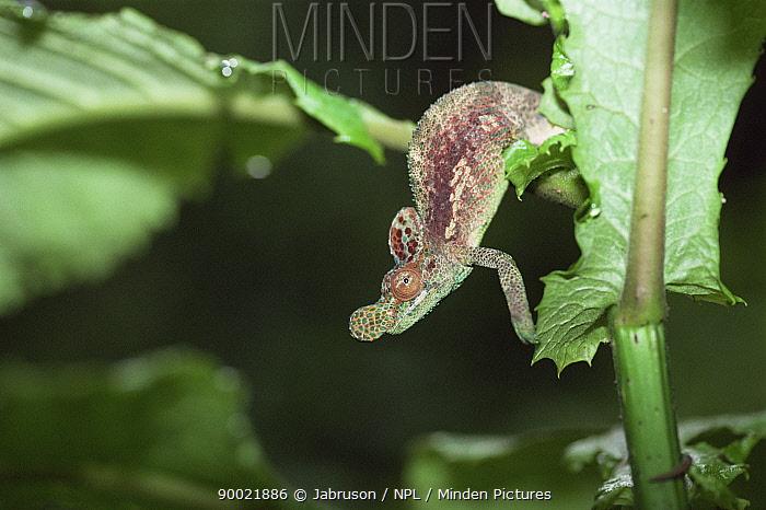 Single welded horn, Ruwenzori chameleon (Bradypodion xenorhinis), Virunga NP, Congo  -  Jabruson/ npl