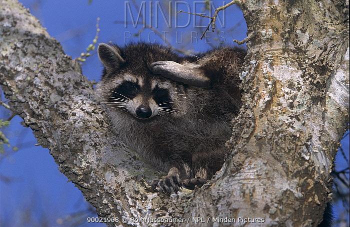Raccoon (Procyon lotor) adult in tree fork, Welder Wildlife Refuge, Sinton, Texas  -  Rolf Nussbaumer/ npl