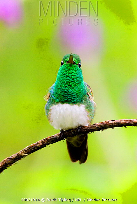 Snowy-bellied Hummingbird (Amazilia edward) portrait, El Valle, Panama  -  David Tipling/ npl