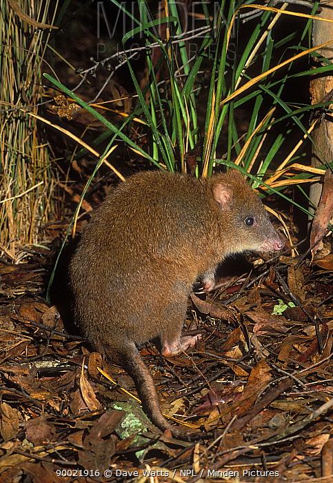 Long-footed Potoroo (Potorous longipes) Victoria, Australia  -  Dave Watts/ npl