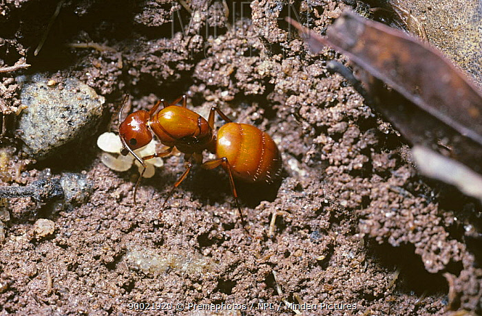 Ant queen (Camponotus castaneus) with first few larvae in an early nest beneath a slab of stone, South Carolina, USA  -  Premaphotos/ npl