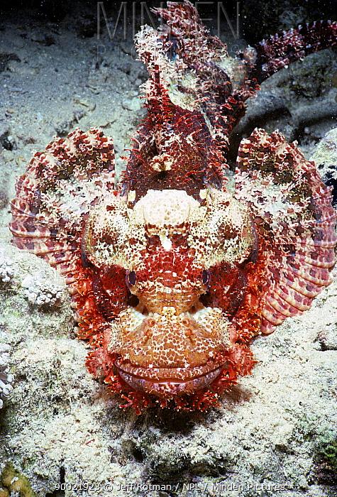 Tassled Scorpionfish (Scorpaenopsis oxycephala) portrait Egypt, Red Sea  -  Jeff Rotman/ npl