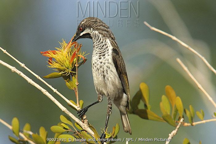 Socotra sunbird (Nectarinia balfouri), feeding on (Trichocalyx obovatus) flower, Wadi Ayhaft, Socotra Island, Yemen  -  Hanne & Jens Eriksen/ npl