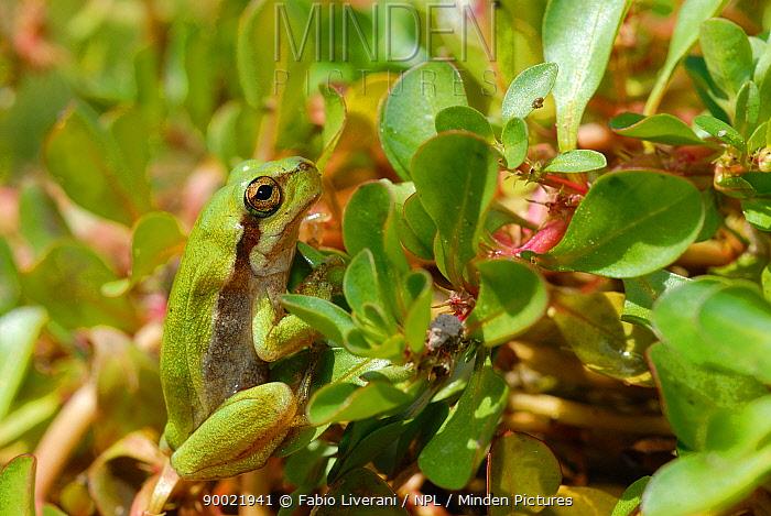 Sardinian tree frog (Hyla sarda) on leaves, Corsica Island, France  -  Fabio Liverani/ npl