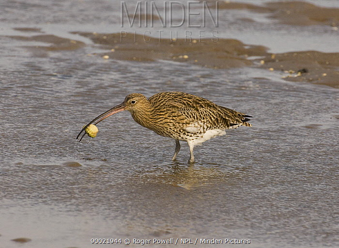 Eurasian Curlew (Numenius arquata) eating carpace of crab after dimembering it, Lindisfarne Is, Northumberland, United Kingdom  -  Roger Powell/ npl