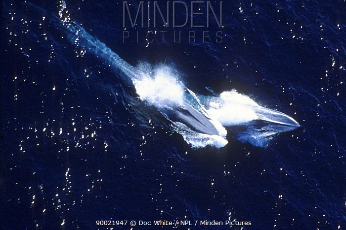 Blue Whale (Balaenoptera musculus) pair surfacing Channel Islands National Park, California, Pacific  -  Doc White/ npl