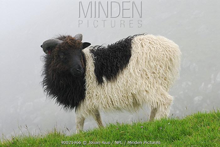 Domestic Sheep (Ovis aries)Sheep in Faroe Islands, Denmark  -  Jouan & Rius/ npl