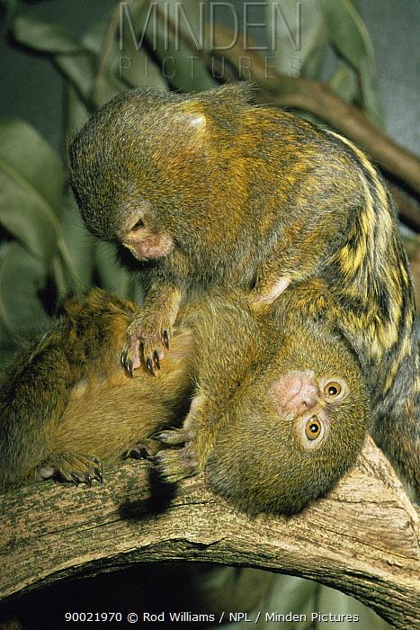 Pygmy Marmoset (Callithrix pygmaea) grooming, captive, from Amazonia  -  Rod Williams/ npl