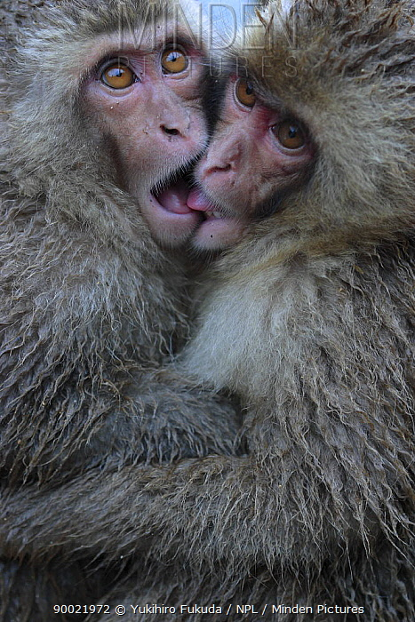 Japanese Macaque (Macaca fuscata) two one-year-old females embrace each other, Jigokudani, Nagano, Japan  -  Yukihiro Fukuda/ npl