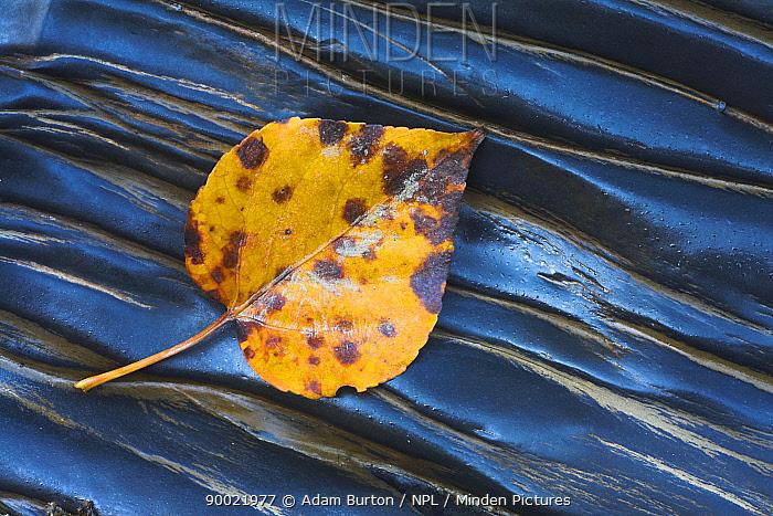 Fallen leaf on wet rocks, Yoho National Park, British Columbia, Canada  -  Adam Burton/ npl