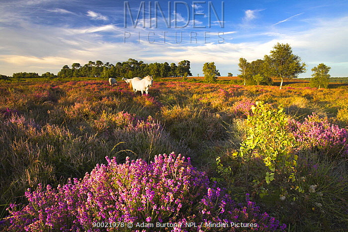 White New Forest ponies grazing on heather, New Forest National Park, Hampshire, England  -  Adam Burton/ npl