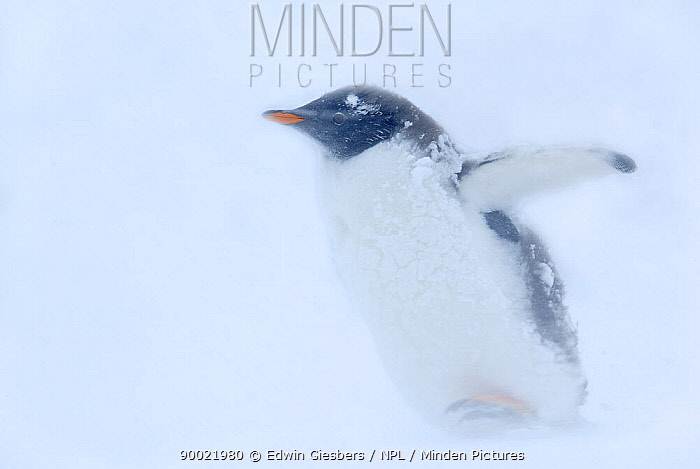 Gentoo Penguin (Pygoscelis papua) walking through snow storm, Antarctica  -  Edwin Giesbers/ npl