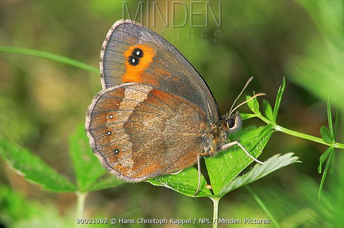 Almond Eyed Ringlet Butterfly (Erebia alberganus) on leaf, Germany  -  Hans Christoph Kappel/ npl