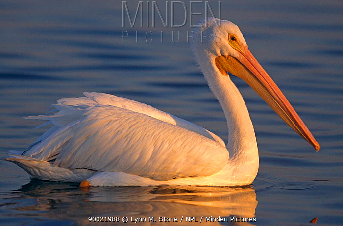 American White Pelican (Pelecanus erythrorhynchos)  -  Lynn M. Stone/ npl