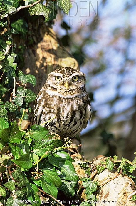 Little Owl (Athene noctua) camouflaged next to tree trunk, Hampshire, England, United Kingdom  -  David Tipling/ npl