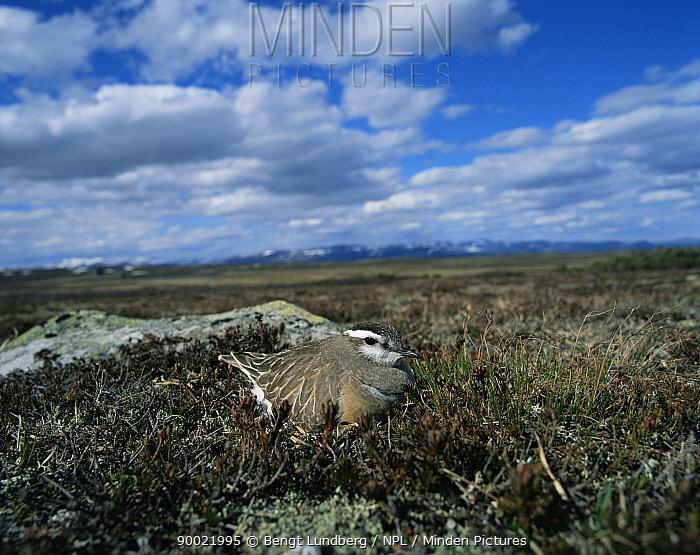 Eurasian Dotterel (Eudromias morinellus), mountains of North Sweden  -  Bengt Lundberg/ npl